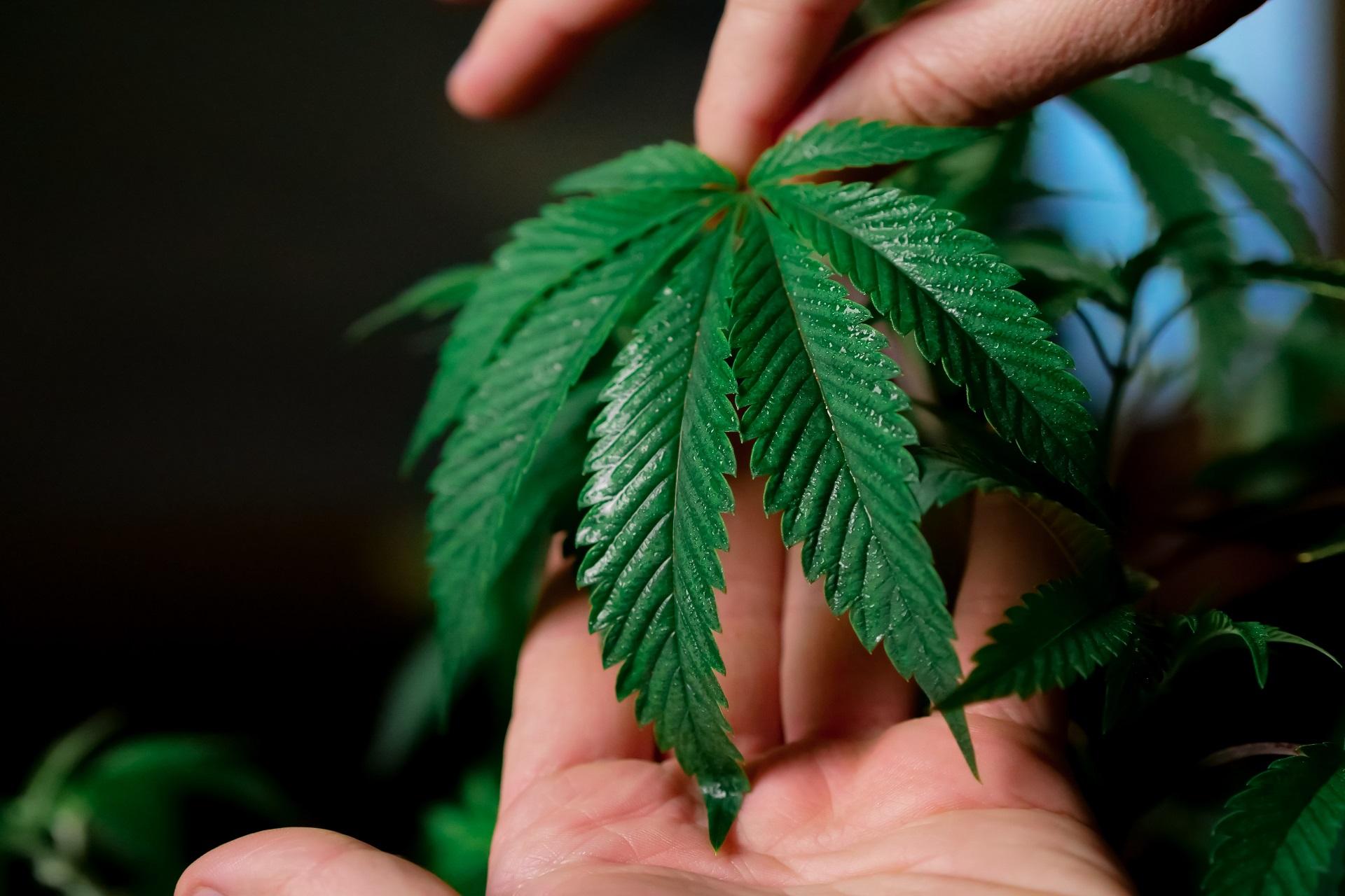 The Legitimacy of Medical Marijuana
